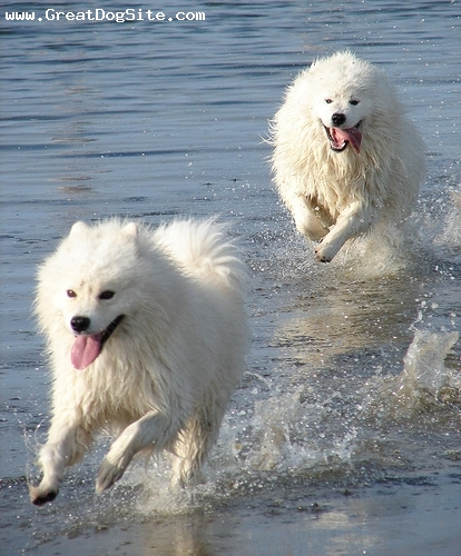 Samoyed, 1.5 years, White, running in the water. these guys are great