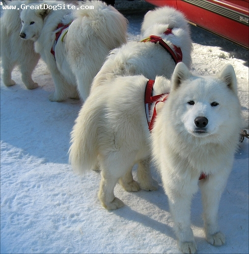 Samoyed, 10 months, White, playing in the snow