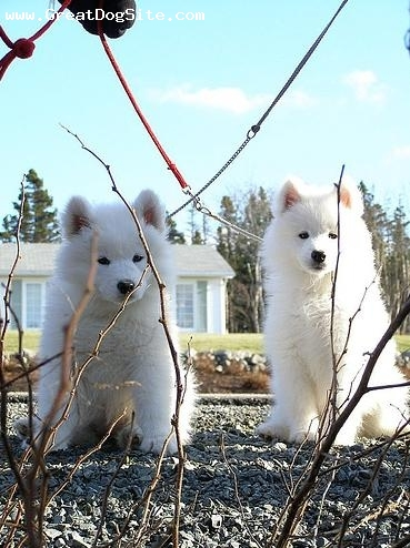 Samoyed, 3 months, White, summer day