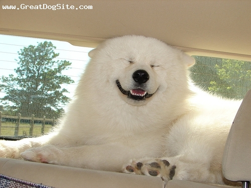 Samoyed, 8 months, White, Smiling in the car.