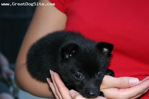 Schipperke, 1 month, Black, yes they are that small when they are newborns