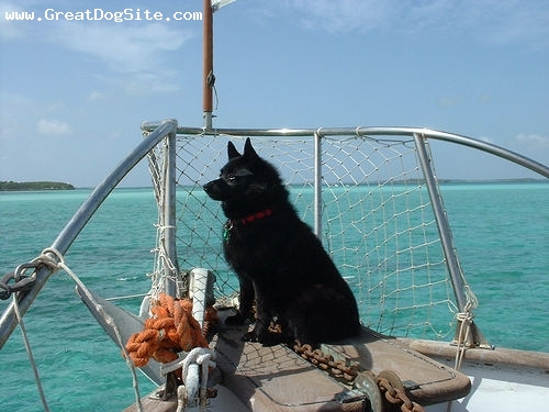 Schipperke, 1 year, Black, on our boat.