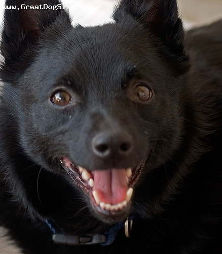 Schipperke, 1 year, Black, Smile!