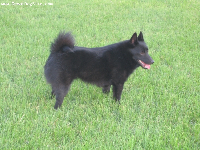 Schipperke, 2, black, We got him from a pet rescue about 6 months ago.  He can be very stubborn, but affectionate