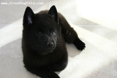 Schipperke, 3 months, Black, a little older now