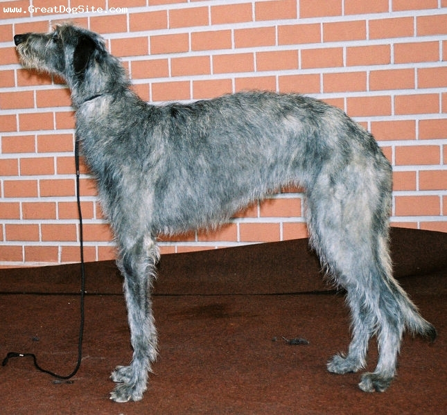 Scottish Deerhound, 1 year, Gray, Big dog.