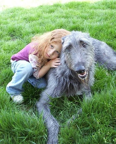 Scottish Deerhound, 2 years, Gray, He's a good boy