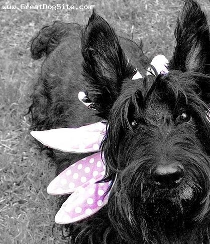 Scottish Terrier, 1 year, Black, in her dress.