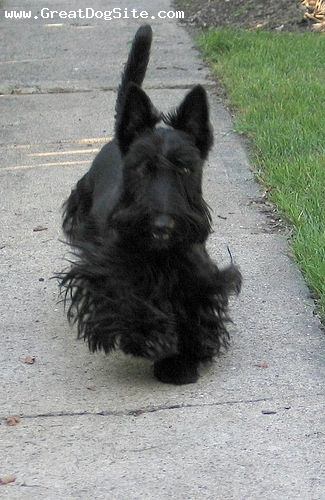 Scottish Terrier, 1 years, Black, Running around