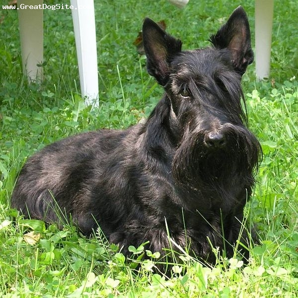 Scottish Terrier, 5 years, Black, Laying down.