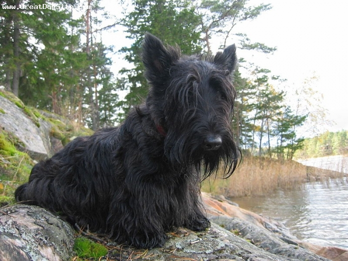 Scottish Terrier, 9 months, Black, by the lake