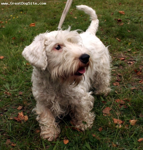 Sealyham Terrier, 8 months, White, Little guy.