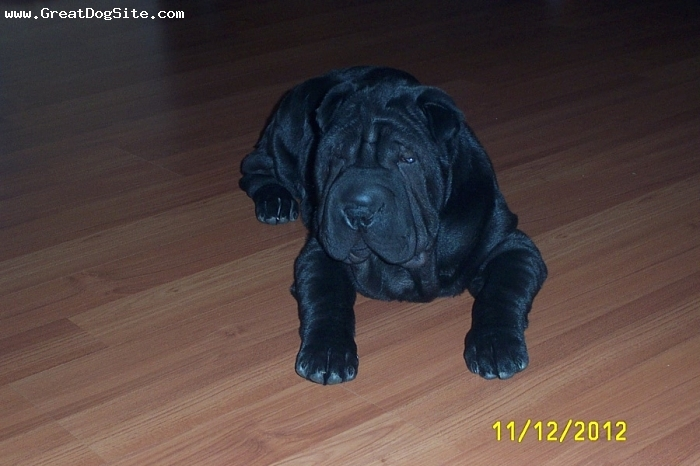 Shar Pei, 3 months, black, This is our 3 month old Shar-Pei could not ask for a better dog