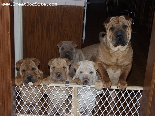 Shar Pei, 3 years, Fawn, lots of puppies