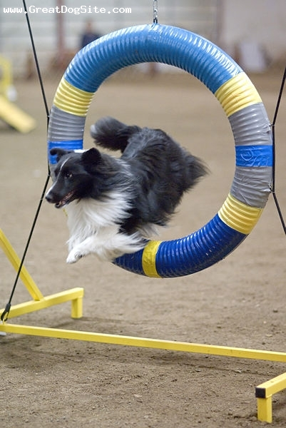 Shetland Sheepdog, 1 year, Bi-color black, Jumping hoops
