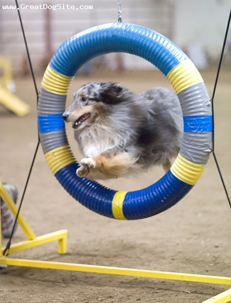 Shetland Sheepdog, 1 year, Blue Merle, jumping hoops
