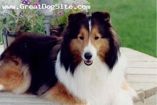 Shetland Sheepdog, 1 year, sable, beautiful, well groomed girl