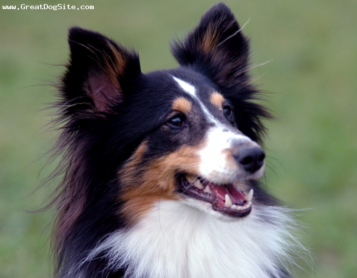 Shetland Sheepdog, 1.5 years, tri-colored, She action-packed!