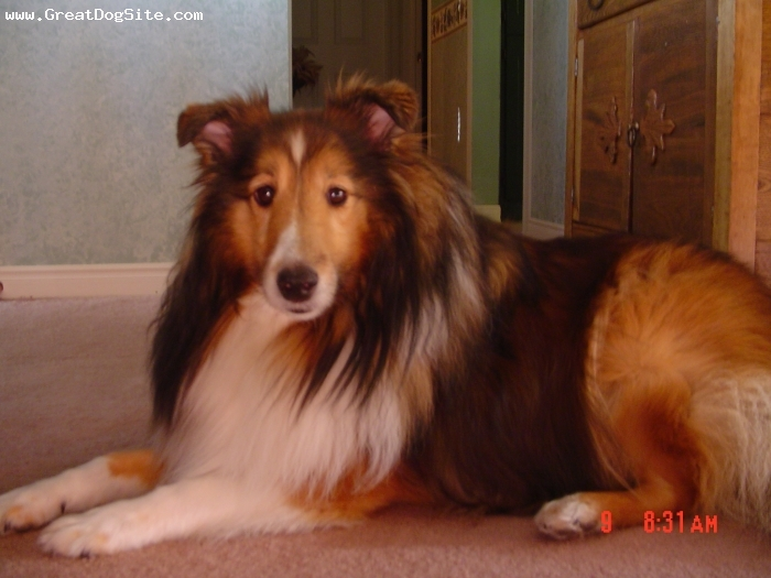 Shetland Sheepdog, 12, brown,white,black, Very loving, caring. Very sweet dog. She loves the attention and has always been givin it. Loves everyone, she gets along with strangers, children and adults....she is the best dog in the world!!!!
