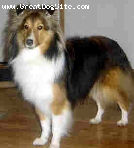 Shetland Sheepdog, 3 year, sable, my talanted star posing for a picture