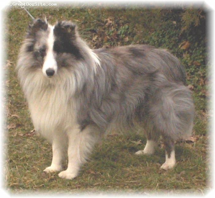 Shetland Sheepdog, 3, Bi-Blue, Turtle as we call him is my soul dog. always at my side I'd be lost without him. you can not find a better breed of dog for training or to be a loyal companion