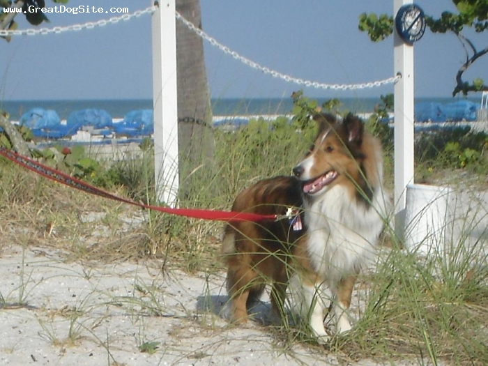 Shetland Sheepdog, 9 months, sable, loves a active day of fun and play and a true Florida dog, loves the water.