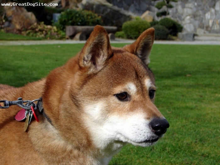 Shiba Inu, 1.5 years, Brown, great face