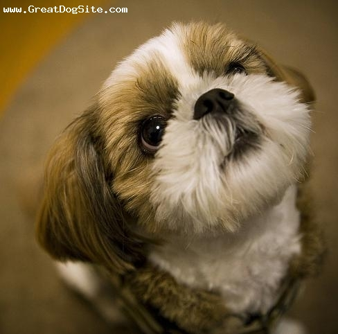 Shih Tzu, 1 year, Brown and White, new haircut..