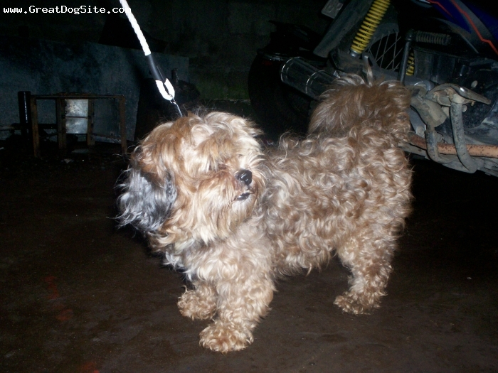 Shih Tzu, 9 months, golden brown, kind and playful