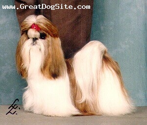 Shih Tzu, Unknown, Beige and White, Show Dog