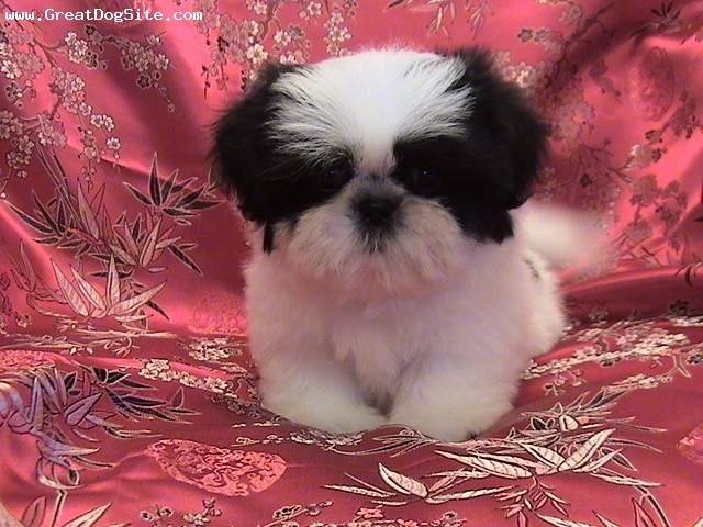 Shih Tzu, Unknown, Black and White, A picture from Photobucket.