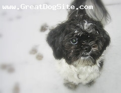 Shih Tzu, Unknown, Black and White, In the Snow