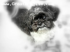 Shih Tzu, Unknown, Black and White, In the Snow also