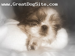 Shih Tzu, Unknown, Brown and White, A Puppy getting (un-needed) Beauty sleep.
