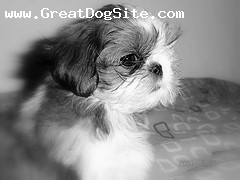Shih Tzu, Unknown, Brown and White, A Photo in Black and White