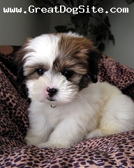 Shih Tzu, Unknown, Dark Brown and White, Sitting