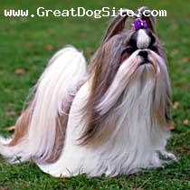 Shih Tzu, Unknown, Tan, Brown and White, A Show Dog with Flowing Hair in the Breeze.