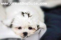 Shih Tzu, Unknown, White, Laying Down and Staying Cute.