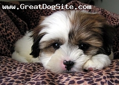 Shih Tzu, Unknown, White, Laying Down