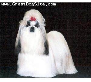 Shih Tzu, Unknown, White, A Snow White Shih Tzu