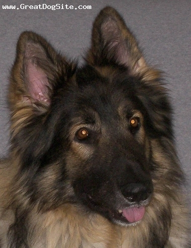 Shiloh Shepherd, 10 months, Gray, again