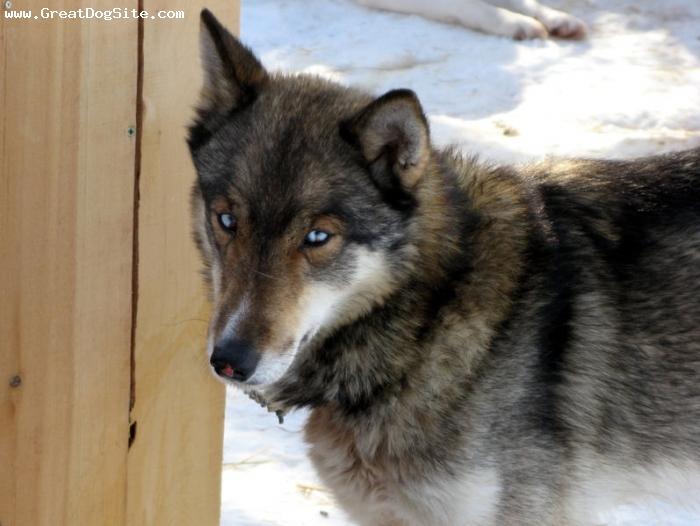 Husky and a irish wolfhound