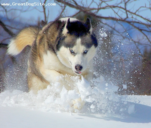 Siberian Husky, 1 year, Wolf, Running in the snow