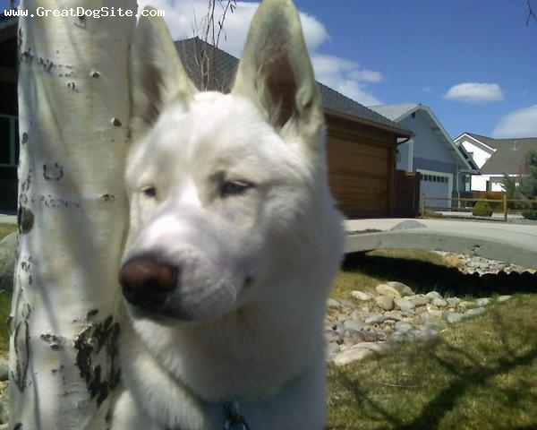 Siberian Husky, 8 months, White, Kuma sitting next to a tree. you can see his blue eyes sort of