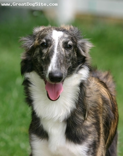 Silken Windhound, 1 year, brown and white, great coat