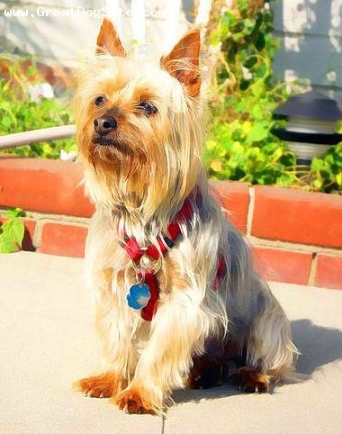 Silky Terrier, 1.5 years, Brown, sitting and happy