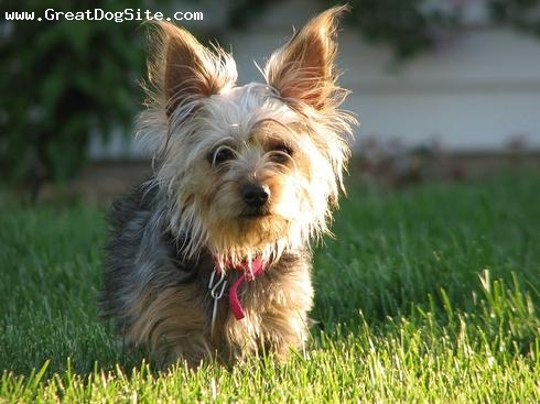 Silky Terrier, 1.5 years, Brown, shes barely taller than the grass