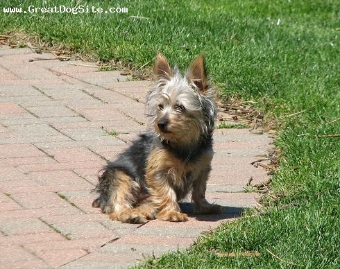 Silky Terrier, 2 years, Brown, my little silky