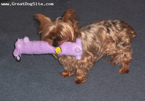 Silky Terrier, 4 months, Brown, with his bone