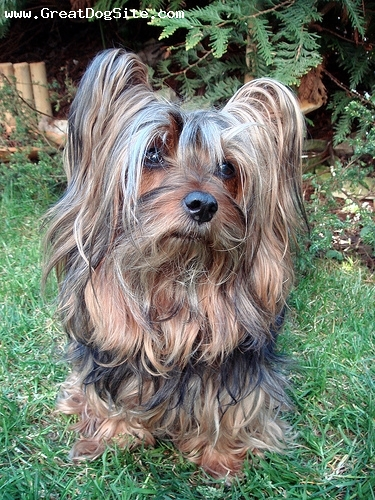 Silky Terrier, 4 years, Brown, his hair is grown out